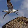 Stock Photo: White segull flying in straw