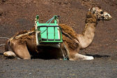 Brown dromedary bite in the volcanic timanfaya lanzarote spain a — Stock Photo