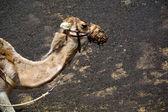 Kahverengi dromedary ısırık içinde volkanik timanfayaspain afrika — Stok fotoğraf