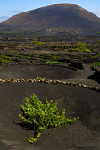 Lanzarote spain la geria s cultivation viticulture winery, — Stock Photo