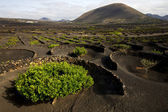 Lanzarote spain la geria cultivation viticulture winery — Stock Photo