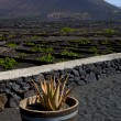 Cactus  viticulture  winery lanzarote spain — Stock Photo