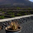 Cactus viticulture winery lanzarote spain — Stock Photo #36271045