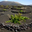 Viticulture winery lanzarote spain la — Stock Photo #36317759