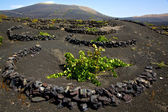 Viticulture winery lanzarote spain la — Stock Photo