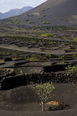 Cultivation viticulture winery lanzarote spain — Stock Photo