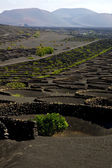 Viticulture lanzarote s wall crops cultivation — Stock Photo