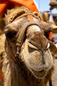 Sky timanfaya spain africa front brown dromedary bite in the vol — Stock Photo