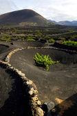 Cultivation la geria vine crops — Stock Photo