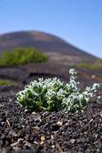 Plant la geria wall grapes cultivation viticulture — Stock Photo