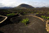 Viticulture winery lanzarote spain la geria crops cultivation — Stock Photo