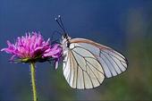 Farfallina bianca in un fiore rosa e cielo — Foto Stock