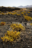 Plant flower rock stone sky hill and summer lanzarote spain — Foto Stock