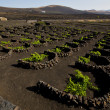 Cultivation home viticulture  lanzarote vine screw grapes   barr — Stock Photo