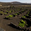 Cultivation home viticulture lanzarote vine screw grapes barr — Stock Photo #36643175
