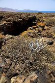 Bush timanfaya in los volcanic — Stockfoto
