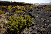 Plant flower bush timanfaya in los volcanes volcanic lanzaro — Stock Photo