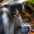 An hairy monkey and her puppy in africa zanzibar — Stock Photo