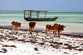 Cow costline boat pirague in the blue lagoon relax of zanzibar — Stock Photo