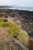 Flower branch in lanzarote spain musk rock stone sky sum — Stock fotografie