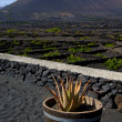 Cactus viticulture winery lanzarote — Stock Photo #36832883