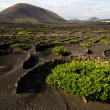 Lanzarote spain lgericultivation winery — Stock Photo #36834991