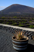 Cactus viticulture winery lanzarote — Stock Photo