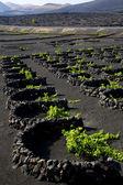 Lanzarote spain la geria vine screw — Stock Photo
