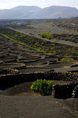 Viticulture winery wall crops cultivation — Stock Photo