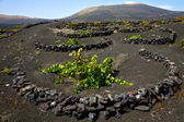Viticulture winery lanzarote — Stock Photo