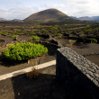 Cultivation home viticulture lanzarote spain geriscrew — Stock Photo #37093953