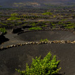 Lanzarote spain lgeris cultivation — Stock Photo #37096203
