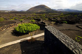 Cultivation home viticulture lanzarote spain geria screw — Stock Photo