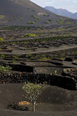 Cultivation viticulture winery lanzarote — Stock Photo