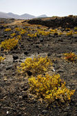 Plant flower rock stone sky hill and summer lanzarote — Stock Photo