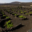 Cultivation home viticulture winery lanzarote vine screw grapes — Stock Photo #37121739