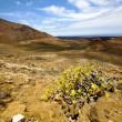 In los volcanes volcanic plant flower — Stock Photo #37123355