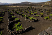 Cultivation home viticulture winery lanzarote vine screw grapes — Stock Photo
