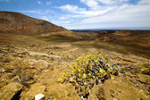 In los volcanes volcanic plant flower — Stock Photo