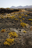 Plant flower bush timanfaya in los volcanes volcanic rock — Stockfoto