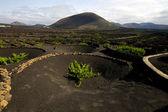 Viticulture winery spain la geria crops cultivation — Stock Photo