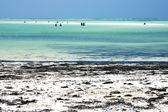 People and seaweed the blue lagoon of zanzibar africa — Stock Photo