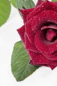 Róża na białym tle — Zdjęcie stockowe