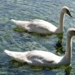 Pair of swans — Stock Photo #13295277