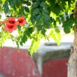 Stock Photo: Tropical red flowers on tree