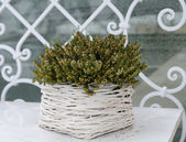 Green plant in white wicker flowerpot — Stock Photo