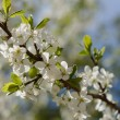 Springtime apple tree blossom — Stock Photo