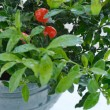 Decorative tomato plant — Stock Photo