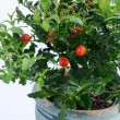 Decorative tomato plant — Foto de Stock