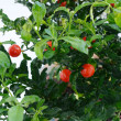 Stock Photo: Decorative tomato plant